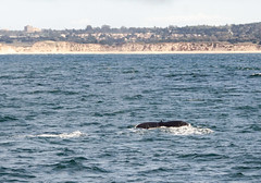 RJB_8465.jpg (Snoop Baggie Bag) Tags: california humpbackwhale whalewatching 2019 holiday monterey