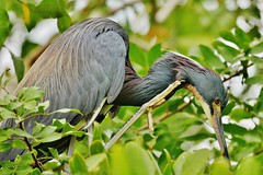 Tricolored Heron (Egretta tricolor) (Susan Roehl) Tags: nearthegulfofmexico southwestflorida usa localzoo wildbird tricoloredheron egrettatricolor louisianaheron smallspecies animal bird coastalamerica swamps coastalhabitats nestsincolonies platformsofsticks trees shrubs 3to7eggs mediumsized longlegged longnecked stalksitsprey shallowordeepwater fish crustaceans reptiles insects sueroehl panasonic lumixdmcgh4 100400mmlens handheld cropped coth5 ngc