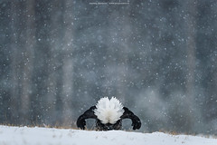 Black Grouse (Andrea Zampatti_Wildlife Photographer) Tags: seleziona black grouse finland lapland finnish snow winter birds bird photography wildlife tetrao andreazampatti