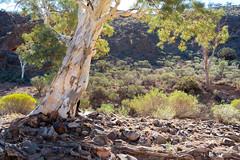 Flinders Ranges, South Australia (Marian Pollock) Tags: flindersranges southaustralia trees bushes outback australia tree wilpenapound sunshine rocks mountains