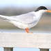 Forster's Tern - Sterna forsteri, Chincoteague National Wildlife Refuge, Chincoteague, Virginia