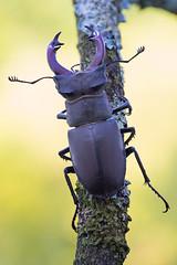 Lucanus cervus (Cristian Arghius) Tags: sonya7 olympuszuikoauto11macro80mmf4 novoflexbalpro1bellows rrstp243tripod arcaswisscubetripodhead zerenestacker macro naturallight focusstack insect beetle lucanuscervus