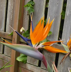San Francisco, CA, My Son's Shared Backyard Garden, Bird of Paradise Flower (Mary Warren 13.6+ Million Views) Tags: sanfranciscoca noevalley garden nature flora plants blooms blssoms flowers orange birdofparadise