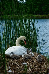 Mother swan with her cygnets (Richard Gittens) Tags: swan bird lake water animals baby cute aww nature outside mother