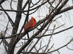 Northern Cardinal (RonG58) Tags: northerncardinal oakland cardinaliscardinalis cardinalis redbird commoncardinal cardinal songbird bird birds loiseau elpájaro tori dervogel birding birdwalk fauna flora habitat migration natureexploration wildlife breedingplumage maine rong58 new usa images spring pictures photooftheday day image color photography photo photos us light trip nikon picture digitalcamera picoftheday photograph live geotagged nature naturephotography travel