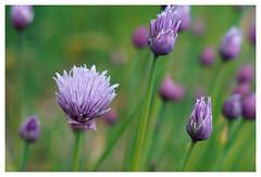 Schnittlauch - extrascharf, dank Carl Zeiss (h.ullrich) Tags: carlzeiss tessar m42 schnittlauch lila violett natur pflanze blume blüte grün macro detail nahaufnahme bokeh bokehlicious kräuter