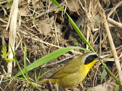 Common Yellowthroat (RonG58) Tags: commonyellowthroat sidney geothlypistrichas bird newworldwarbler birds loiseau elpájaro tori dervogel birding birdwalk fauna flora habitat migration natureexploration wildlife breedingplumage maine rong58 new usa images spring pictures photooftheday day image color photography photo photos us light trip nikon picture digitalcamera picoftheday photograph live geotagged nature naturephotography travel exploration