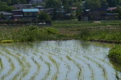 Newly planted rice (しまむー) Tags: sony slta57 a57 α57 sal75300 75300mm f4556
