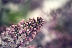 The afternoon releases its delusions (akigabo) Tags: montreal nature flowers tree blossom sunset bokeh canon 700d 50mm colors light shadows twilight dof life naturephotography purple depthoffield