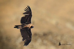 Buitre negro (Aegypius monachus) (jsnchezyage) Tags: buitrenegro aegypiusmonachus ave pájaro vuelo bird birding birdwatching ornithology beak feather blackvulture vulture birdinflight