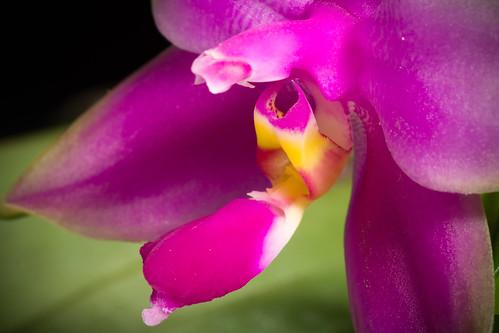 [Sumatra, Indonesia] Phalaenopsis violacea H.Witte, Ann. Hort. Bot. 4: 129 (1861)