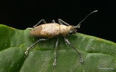 Weevil, Naupactus sp., Curculionidae (Ecuador Megadiverso) Tags: andreaskay beetle coleoptera curculionidae ecuador weevil