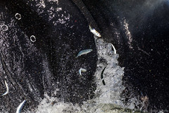 Whale Closeup (Melissa M McCarthy) Tags: humpbackwhale whale animal nature wildlife wild mammal large closeup feeding surfacing lungefeeding lunging action motion eating herring fish baleen mouth jaws water sea ocean holyrood newfoundland canada canon7dmarkii canon100400isii