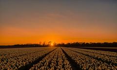 Sleepy white tulips. (Alex-de-Haas) Tags: 1635mm d500 dutch europa europe holland nederland nederlands netherlands nikkor nikkor1635mm nikon nikond500 noordholland agriculture akkerbouw beautiful beauty bloemen bloemenvelden boerenland bollenvelden bulbfields farmland farming flowerfields flowers landbouw landscape landscapephotography landschaft landschap landschapsfotografie lente lucht mooi polder pracht schoonheid skies sky spring sundown sunset tulip tulips tulp tulpen zonsondergang sintmaartensvlotbrug northholland