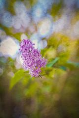 Lilac (judy dean) Tags: judydean 2019 garden lensbaby texture ps lilac flower shrub bokeh