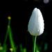 White Tulip, Lyndale Park Rose Garden, Minneapolis 5/20/19