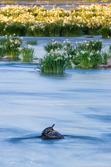 turtle in the stream (McMannis Photographic) Tags: photography destination landsfordcanal southcarolina landscapeandnature travel water explore sc southeast tourism