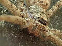 wild (dayonkaede) Tags: nature spider wild live olympus em1markii mzuiko digital ed 60mm f28 macro thorn insect bug