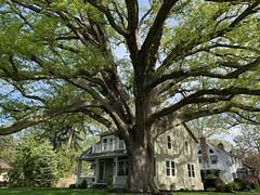 Hometown: Old Oak Tree (remiklitsch) Tags: hometown okdoaktree spring bordertown iphone remiklitsch newyork lewiston lewistonny house morning village green tree oak