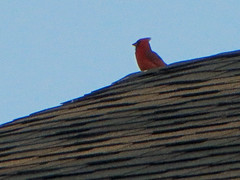 Cardinal Perched On The Roof. (dccradio) Tags: lumberton nc northcarolina robesoncounty outdoor outdoors outside nature natural sky bluesky may evening tuesday tuesdayevening goodevening bird birdwatching roof shingle shingles rooftop animal wildlife red redbird cardinal perched canon powershot elph 520hs