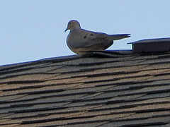 Mourning Dove Perched On The Roof. (dccradio) Tags: lumberton nc northcarolina robesoncounty outdoor outdoors outside nature natural sky bluesky may evening tuesday tuesdayevening goodevening bird birdwatching roof shingle shingles rooftop animal wildlife dove mourningdove canon powershot elph 520hs