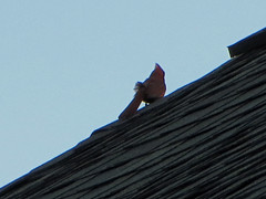 Cardinal On The Roof. (dccradio) Tags: lumberton nc northcarolina robesoncounty outdoor outdoors outside nature natural sky bluesky may evening tuesday tuesdayevening goodevening bird birdwatching roof shingle shingles rooftop animal wildlife red redbird cardinal perched canon powershot elph 520hs