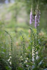 Foxgloves (tonybill) Tags: flowers gardens hampshire may miscellaneous nationaltrust olympusomzuiko90mmf2macro places sonya7iii sunshine westgreenhouse bokeh