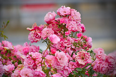 Roses in the street (Fnikos) Tags: street road flower flowers flor flores fiore fiori leaf leaves nature naturaleza natura natur color colour colores colours colors rosa rose pink green light shadow shadows dof depth depthoffield bokeh outside outdoor
