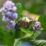 Rose Chafer Beetle on Ceanothus thumbnail
