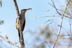 Pájaro bobo (Coccyzus longirostris) (juan.sangiovanni) Tags: bobo coccyzus longirostris coccyzuslongirostris cuculidae lagartero