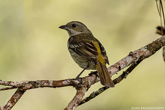 Cigua de La Española (Spindalis dominicensis) (juan.sangiovanni) Tags: cigua amarilla spindalis dominicensis