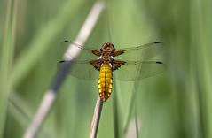 Dragonfly (marra121) Tags: leighton moss birds wildlife robin dragonfly mallard little grebe orange tip butterfly avocet pochard