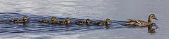 Mallard Family (marra121) Tags: leighton moss birds wildlife robin dragonfly mallard little grebe orange tip butterfly avocet pochard