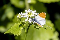 Orange tip butterfly (marra121) Tags: leighton moss birds wildlife robin dragonfly mallard little grebe orange tip butterfly avocet pochard