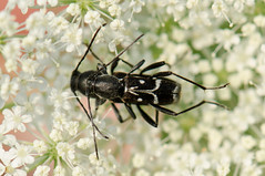 Chlorophorus sartor. lombardia (karine.arnou) Tags: accouplement cerambycidaelongicorne coleoptere chlorophorussartor