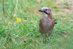 Jay at Daisy Nook (sean4646) Tags: jay daisynook tameside d500 nikon buttercup peanuts countrypark spring birds tamron150600 wildlife nature outdoors avian ashtonunderlyne field