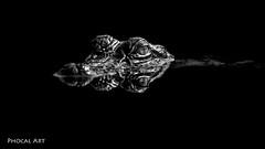 Death Watches (Phocal Art) Tags: websitegators alligator alligatormississippiensis alligatoridae americanalligator animalia chordata crocodilia crocodylomorpha reptilia coldblooded commonalligator gator predator reptile