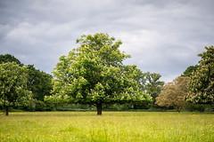 Horse chestnut (tonybill) Tags: flowers gardens hampshire may miscellaneous nationaltrust olympusomzuiko90mmf2macro places sonya7iii sunshine westgreenhouse bokeh garden