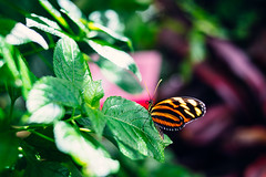 Pacific Science Center's Tropical Butterfly House (Graham Gibson) Tags: seattle 2019 pacific science center's tropical butterfly house sony a7rii voigtlander 40mm f12 nokton 4012
