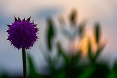 "Flowery Sunset (Robert Evans KC) Tags: art lightroom adobe dslr ""digitial slr"" photograph camera nikon digital missouri photo photography america ""united states"" hobby wife ""jackson county"" nature ""nikon d3400 "" sunset flower sigma"
