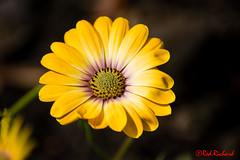 Garden Flower 2 (J7) (red.richard) Tags: flower garden floral yellow petals nikon d800 cof072 cof072mchi cof072mark cof072dmnq cof072cott cof072mvfs cof072chon