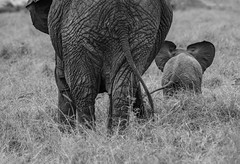 SAVANNAH ELEPHANTS:  IT TAKES A FAMILY (John C. Bruckman @ Innereye Photography) Tags: kenya maasaimarareserve savannahelephantspachydermselephant familiesfemale elephantscowscalvescalfmatriarchal headbabysit elephant developmentsurvival rate