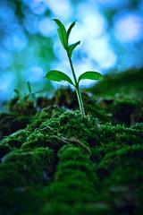 Naissance d'une branche. (Victor_MLZ) Tags: macro macrophotography nikon plante arbre rennes bretagne art abstract born bleu couleur lumiere minimaliste amateur tronc mousse écorce nature