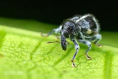 Weevil (Curculionidae) - DSC_4889 (nickybay) Tags: venusdrive singapore macro curculionidae weevil