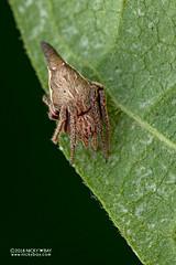 Orb weaver spider (Eriovixia sp.) - DSC_4883 (nickybay) Tags: venusdrive singapore macro araneidae eriovixia orb weaver spider