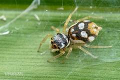Jumping spider (cf. Phintella sp.) - DSC_4860 (nickybay) Tags: venusdrive singapore macro jumping spider salticidae phintella