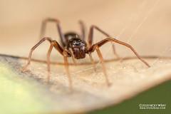 Ant-like sac spider (Corinnidae) - DSC_4845 (nickybay) Tags: venusdrive singapore macro corinnidae antlike sac spider
