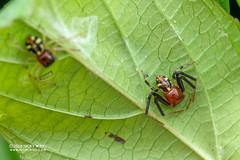 Crab spider (Camaricus maugei) - DSC_4827 (nickybay) Tags: venusdrive singapore macro camaricus maugei crab spider