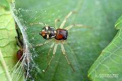 Crab spider (Camaricus maugei) - DSC_4823 (nickybay) Tags: venusdrive singapore macro camaricus maugei crab spider