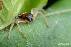 Crab spider (Camaricus maugei) - DSC_4821 (nickybay) Tags: venusdrive singapore macro camaricus maugei crab spider
